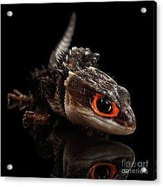 Closeup Red-eyed Crocodile Skink, Tribolonotus Gracilis Acrylic Print