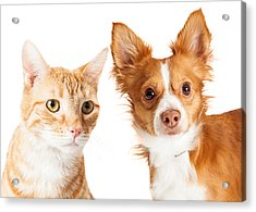 Closeup Small Dog And Tabby Cat Acrylic Print by Susan Schmitz
