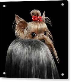 Closeup Yorkshire Terrier Dog, Long Groomed Hair Pity Looking Back Acrylic Print