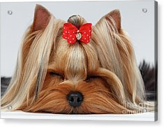 Closeup Yorkshire Terrier Dog With Closed Eyes Lying On White  Acrylic Print by Sergey Taran