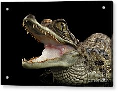 Closeup Young Cayman Crocodile, Reptile With Opened Mouth Isolated On Black Background Acrylic Print by Sergey Taran