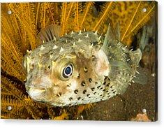 Closeupf Of A Yellowspotted Burrfish Acrylic Print by Tim Laman