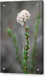 Cloud Puff Wildflower Acrylic Print by Jean Booth