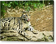Clouded Leopard 1 Acrylic Print