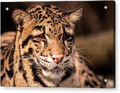 Clouded Leopard II Acrylic Print