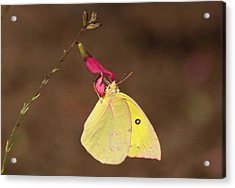 Clouded Sulphur Butterfly On Pink Wildflower Acrylic Print by Sheila Brown