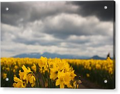 Acrylic Print featuring the photograph Cloudy With A Chance Of Daffodils by Erin Kohlenberg