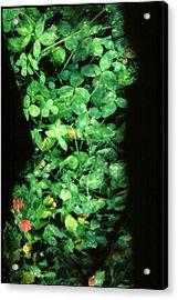 Clover Acrylic Print by Arla Patch