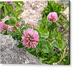 Clover On The Rocks Acrylic Print by Stephanie Moore