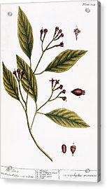 Cloves, 1735 Acrylic Print by Granger