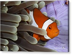 Clown Anemonefish, Indonesia Acrylic Print by Todd Winner