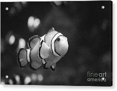 Clownfish Acrylic Print by Brenton Woodruff
