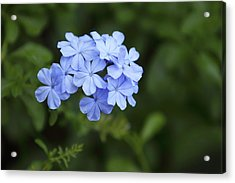 Cluster Of Blue Phlox Acrylic Print by Linda Phelps