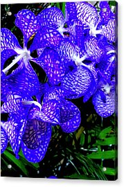 Cluster Of Electric Blue Vanda Orchids Acrylic Print