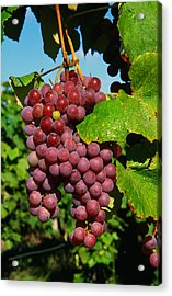 Cluster Of Grapes Ripe For Harvesting Acrylic Print