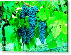 Cluster Of Wine Grapes Acrylic Print