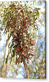 Clustered - Monarch Butterflies Acrylic Print