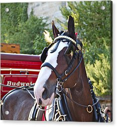 Clydesdale At Esp Acrylic Print by Alice Gipson