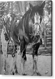 Clydesdale Acrylic Print by Darcie Duranceau