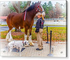 Clydesdale With Handler And His Companion Acrylic Print