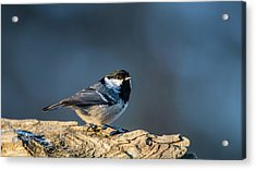 Acrylic Print featuring the photograph Coal Tit's Colors by Torbjorn Swenelius