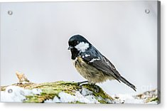 Acrylic Print featuring the photograph Coal Tit's Profile by Torbjorn Swenelius