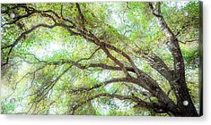 Coast Live Oak Branches Acrylic Print