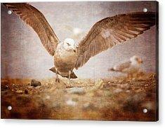 Coastal Gull Acrylic Print by Karol Livote