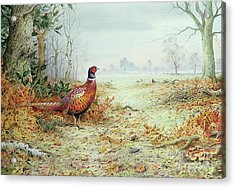 Cock Pheasant  Acrylic Print by Carl Donner