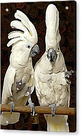 Cockatoo Conversation Acrylic Print