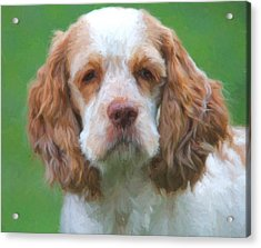 Cocker Spaniel On Green Acrylic Print by Dan Sproul