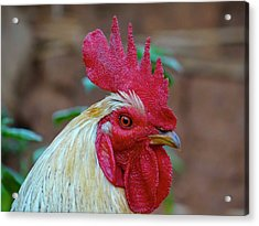 Cockerel Rooster Close-up Acrylic Print