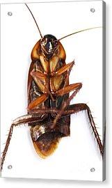 Cockroach Carcass Acrylic Print by Jorgo Photography - Wall Art Gallery
