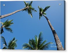 Coconut Palms Acrylic Print