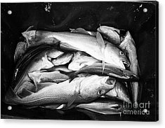 cod pollock and other sea fish caught on a fishing trip Reykjavik iceland Acrylic Print