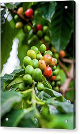 Coffee Plant Acrylic Print