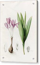 Colchicum Autumnale. Meadow Saffron Or Autumn Crocus Acrylic Print