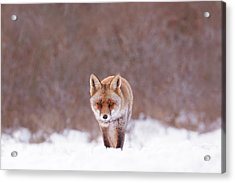 Cold Encounter - Red Fox In The Snow Acrylic Print