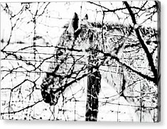 Cold Horse Acrylic Print