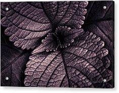 Coleus 6001 Acrylic Print