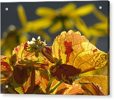 Coleus  Acrylic Print by Alfred Ng