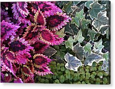 Coleus And Ivy- Photo By Linda Woods Acrylic Print