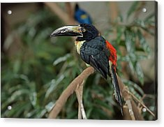 Acrylic Print featuring the photograph Collared Aracari by JT Lewis