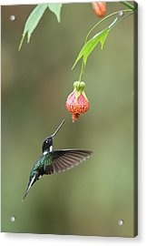 Collared Inca And Flower In Ecuador Acrylic Print by Juan Carlos Vindas