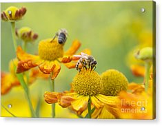 Collecting Nectar Acrylic Print by Tim Gainey