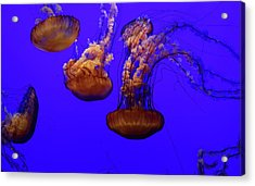 Collection Of Jellyfish Acrylic Print