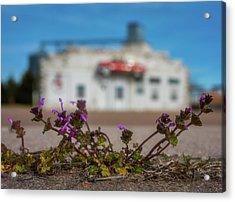 Collyer Sidewalk Blooms Acrylic Print by Darren White