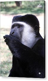 Colobus Monkey Acrylic Print by Aidan Moran