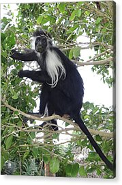 Colobus Monkey Eating Leaves In A Tree Acrylic Print