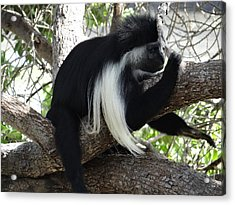 Colobus Monkey Resting In A Tree Acrylic Print